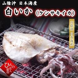 干物(単品)白いか(ケンサキイカ)